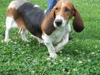 Basset Hound - Molly2 - Medium - Adult - Female - Dog