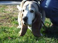 Basset Hound - Murphy - Medium - Senior - Male - Dog