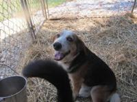 Basset Hound - Opie - Medium - Adult - Male - Dog