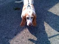 Basset Hound - Penny - Medium - Adult - Female - Dog 8