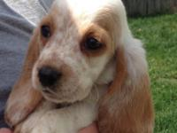 Basset Hound Puppies for sale. They are full championed
