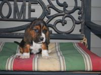 AKC Basset Hound Puppies- $700 and they are present on