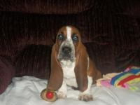 We have a litter of 10 Beautiful Basset Hound