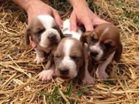We have 3 female and 2 male purebred Basset Hound new