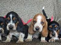 We have a precious littler of Basset children who are