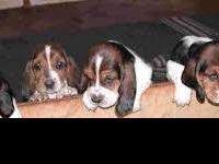 ckc registered basset hound puppies  huge feet and