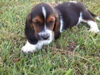Full blooded basset hound puppies 1 male 1 female first