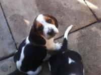I have 7 adorable pure bred basset hounds for sale.