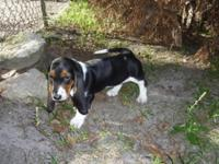 2 BEAUTIFUL FEMALE BASSET HOUNDS PUPPIES FOR SALE. both