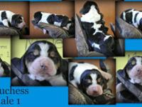 Basset hound puppies for sale. Both males and females