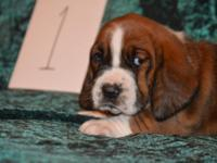 Basset hound puppies available....4 males and 2
