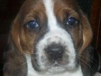 We have 6 Basset puppies to choose from. 3 Males and 3