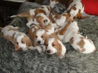 7 Basset hound puppies for sale, 4 males, 3 females. 8