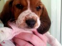 I have a female Basset hound puppy ready for her