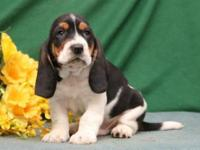 Meet this awesome Pure Bred Bassett Hound Puppy. Please
