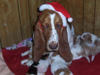 I have a litter of 7 ckc registered basset hounds