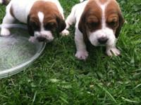 5 male basset hound new puppies. 2 of them are white