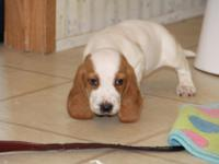 I have ckc registered basset pups.1st shots and