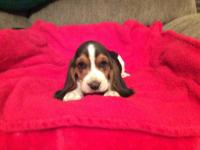 I have 7 Basset hound pups available. I have 5 males