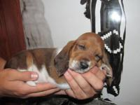 We have a gorgeous litter of registered Basset Hound