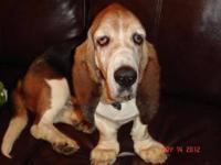 Basset Hound - Rolo - Large - Senior - Male - Dog Meet