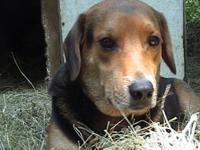 Basset Hound - Shanna - Medium - Young - Female - Dog