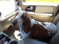 I have a Lemon and White male basset hound. He will be