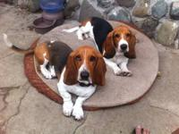 Basset Hound - Sunshine - Medium - Adult - Female -