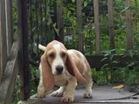 I have 3 male basset pups ready for their forever
