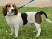 Basset Hound - Cleo - Medium - Adult - Female - Dog