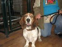 Basset Hound - Dexter - Medium - Adult - Male - Dog