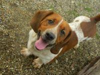 Basset Hound - Willie - Medium - Adult - Male - Dog