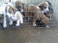 I have some Bassett Hound / mix young puppies for sale.