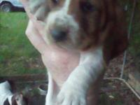 I have two male Basset hound puppies left! They are ckc