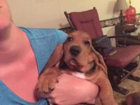 We have two adorable female bassett hound puppies for