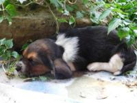4 male Bassett Hound Puppies Very Sweet $150.00 cash to