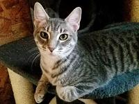Basso's story Bassoo is a gorgeous young adult bobtail