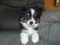 Baxter is a ASDR male toy australian Shepherd.He was