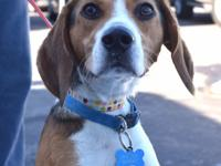 Baxter is a young adult male Beagle who was rescued