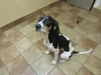 Baxter *Petsmart GB*'s story Hound mix 7 months old