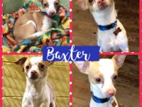 Meet Baxter!!  He's a Chihuahua and about a year old,