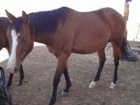 Bay Mare For Sale....She is very sweet and calm has had