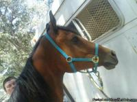 i have a bay polish arabian gelding, very sweet, broke