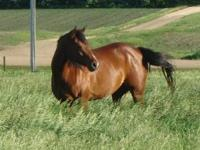 Registered 2002 Bay Quarter Horse mare. Was shown in 4