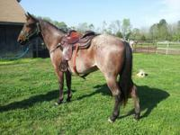 QH GELDING JUST TURNED 4YRS. OLD. OUT OF HANCOCK.