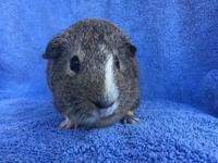 Bazinga is a lemon agouti & white male born approx.