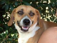 Beagle - 070-13 - Small - Adult - Male - Dog   Hello,