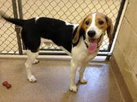 Beagle - 1-13 Scooby - Medium - Young - Male - Dog