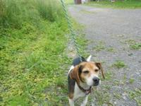 Beagle - 12-0344 Dalton - Small - Adult - Male - Dog