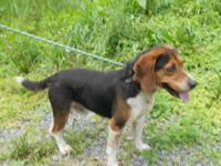 Beagle - 12-0346 Boone - Medium - Adult - Male - Dog